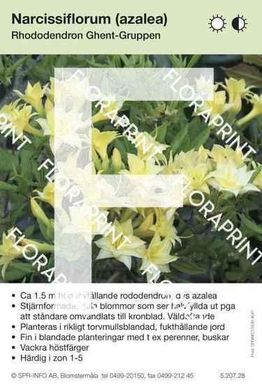 Narcissiflora