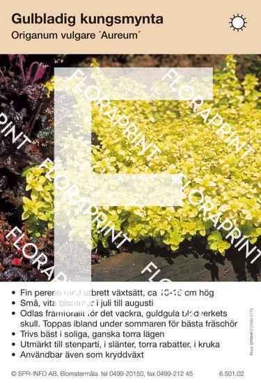 Origanum vulgare Aureum