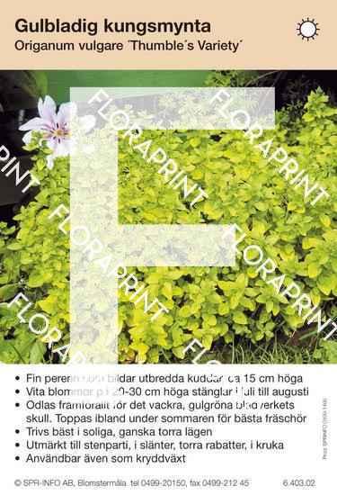 Origanum vulgare Thumble´s Variety
