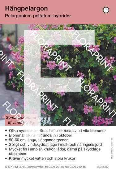 Pelargonium peltatum-hybrider