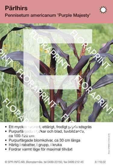 Pennisetum am Purple Majesty