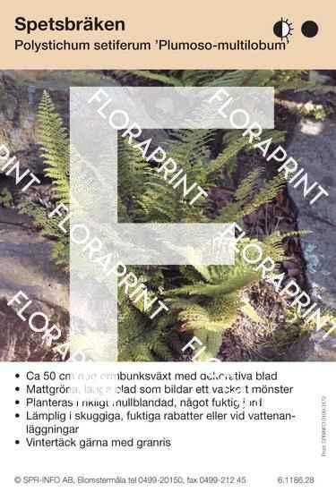 Polystichum setiferum Plumoso-densum