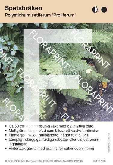 Polystichum setiferum Proliferum