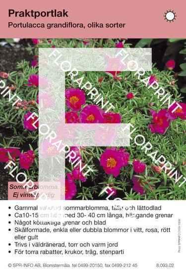 Portulacca grandiflora