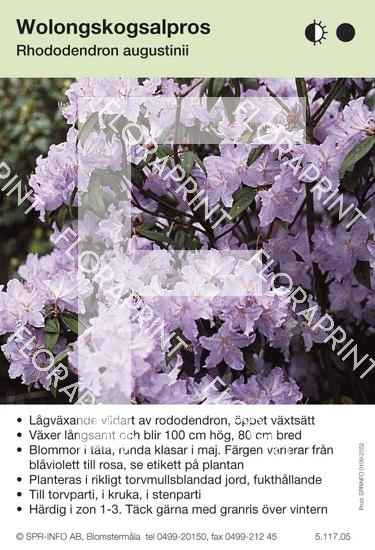 Rhododendron augustinii
