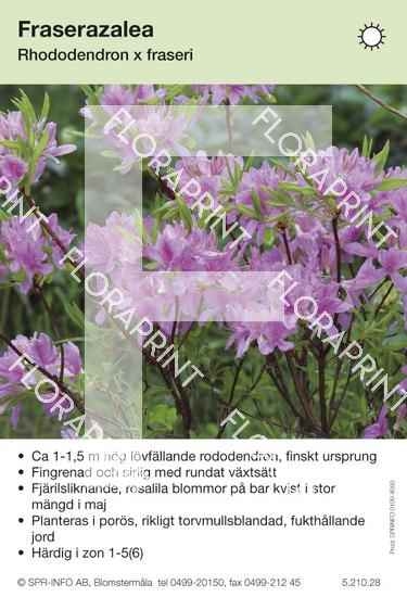 Rhododendron fraseri
