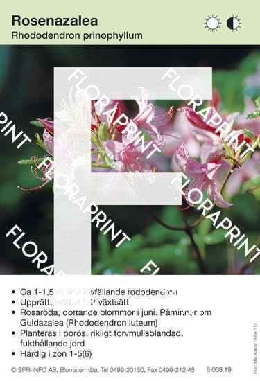 Rhododendron prinophyllum