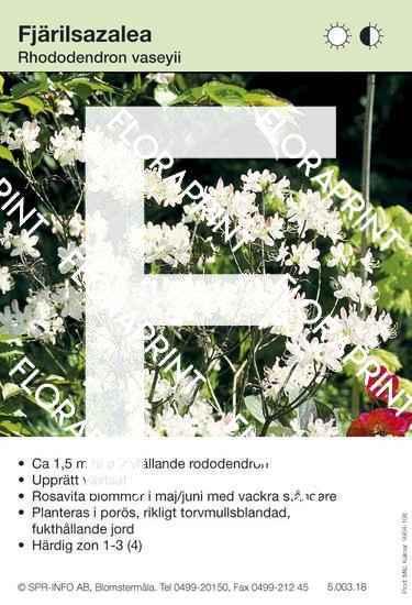 Rhododendron vaseyii