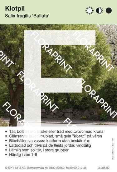 Salix fragilis Bullata