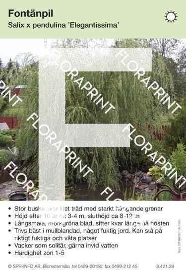 Salix pendulina Elegantissima
