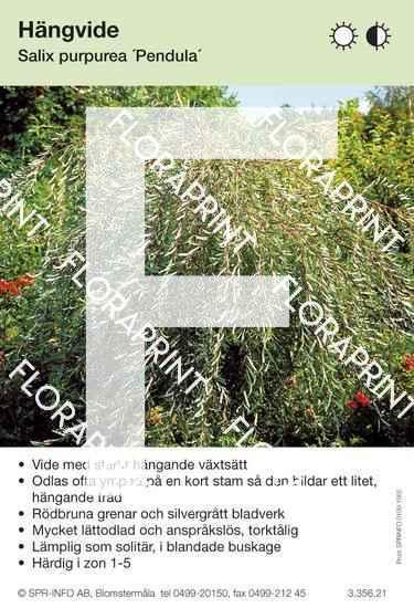 Salix purpurea Pendula