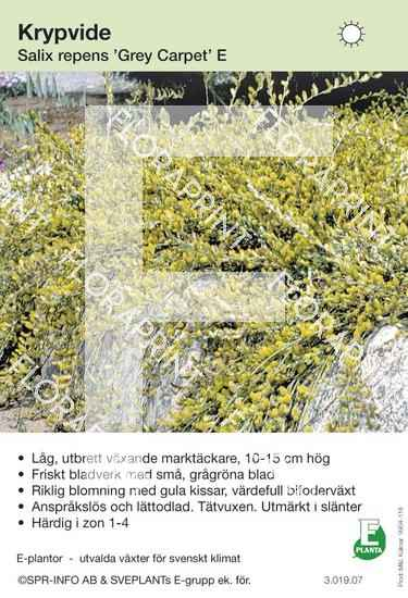 Salix repens Grey Carpet E