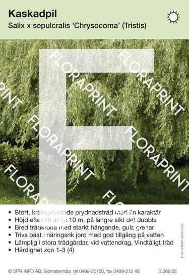 Salix sepulcralis Chrysocoma (Tristis)