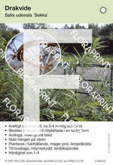 Salix udensis Sekka
