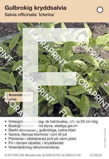 Salvia officinalis Icterina (liknande sort:)