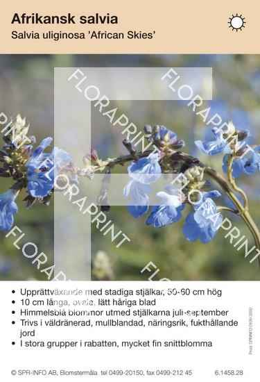 Salvia uliginosa African Skies