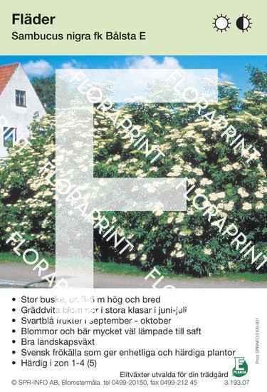 Sambucus nigra Bålsta E