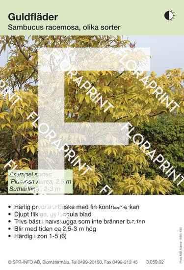 Sambucus racemosa gulbladig (sorter:)