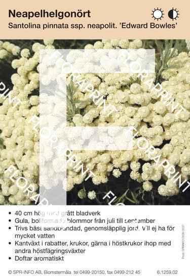 Santolina pinnata ssp neapol. Edward Bowles