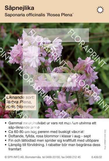 Saponaria officinalis Rosea Plena (likn sort:)