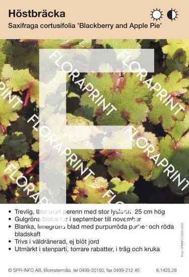 Saxifraga cortusifolia Blackberry and Applepie