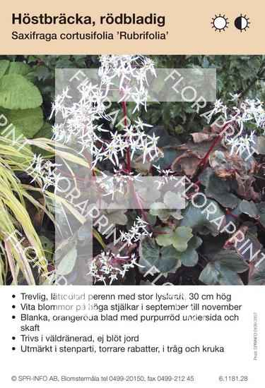 Saxifraga cortusifolia Rubrifolia