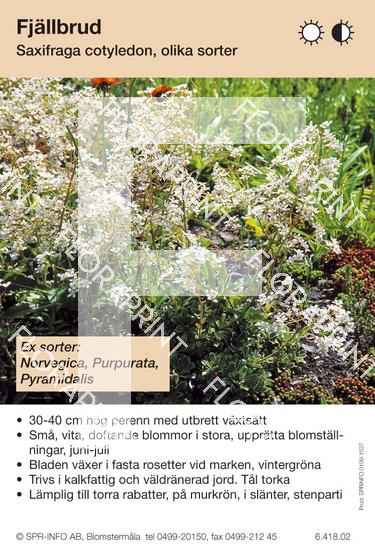 Saxifraga cotyledon (sorter:)