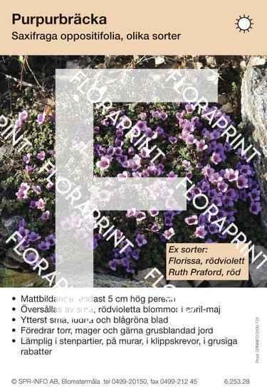 Saxifraga oppositifolia (sorter:)