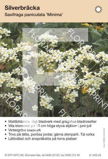 Saxifraga paniculata Minima