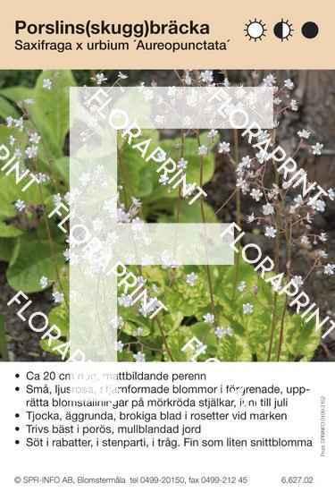 Saxifraga urbium Aureopunctata