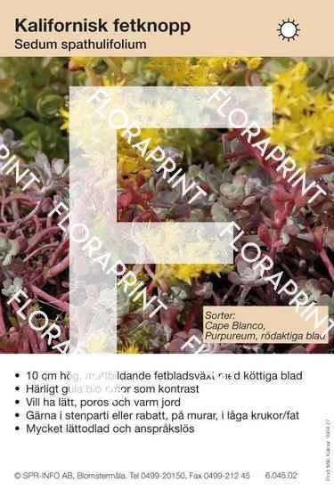 Sedum spathulifolium (sorter:)