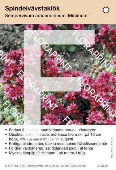Sempervivum arachnoideum Minimum