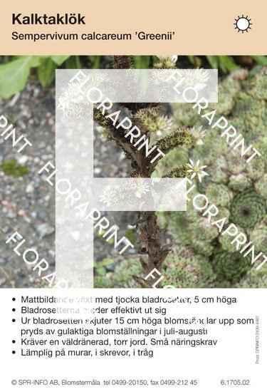 Sempervivum calcareum Greenii
