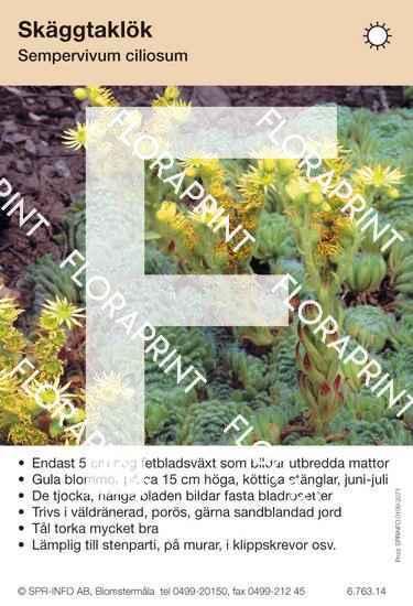 Sempervivum ciliosum