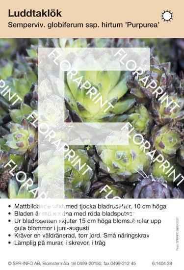 Sempervivum (fd Jovibarba) glob ssp hirta Purpurea