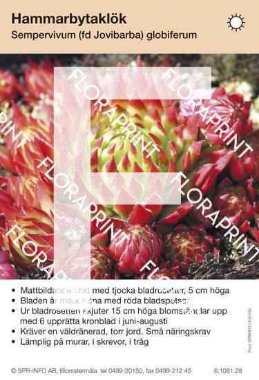 Sempervivum (fd Jovibarba) globiferum
