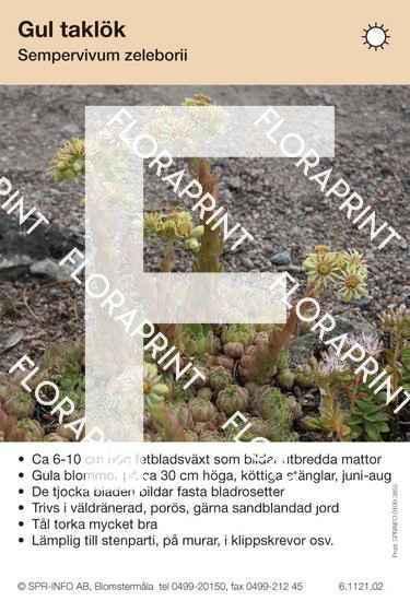 Sempervivum zelebori