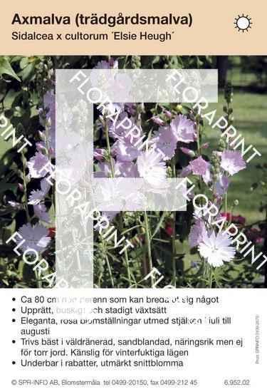 Sidalcea cultorum Elsie Heugh