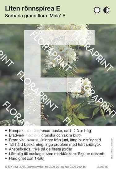 Sorbaria grandiflora Maia E