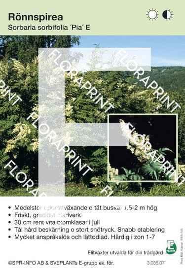 Sorbaria sorbifolia Pia E