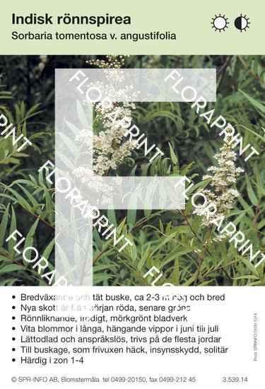 Sorbaria tomentosa v. angustifolia