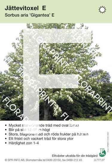 Sorbus aria Gigantea E