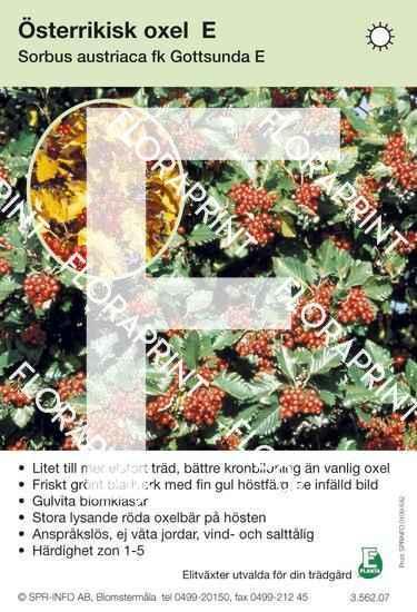 Sorbus austriaca E