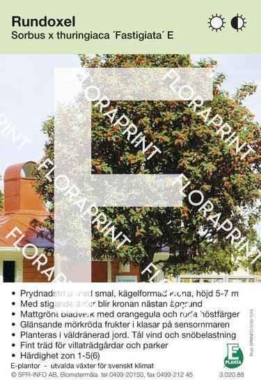 Sorbus thuringiaca Fastigiata E