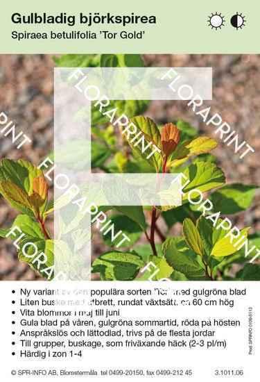 Spiraea betulifolia Tor Gold