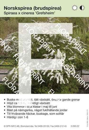 Spiraea cinerea Grefsheim buske