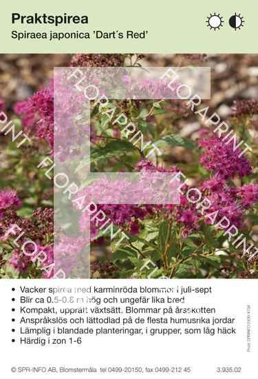 Spiraea japonica Dart´s Red