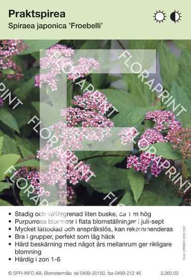 Spiraea japonica Froebelii