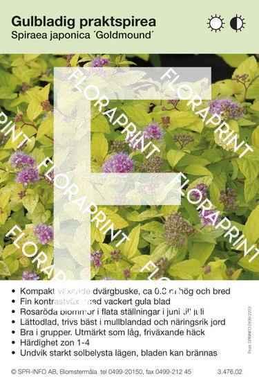 Spiraea japonica Goldmound