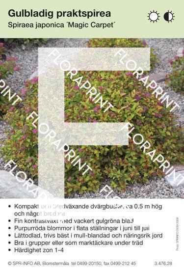 Spiraea japonica Magic Carpet